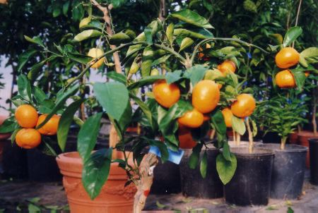 Click picture to see overview of my citrus