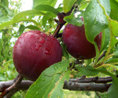 Click picture for an overview of my plums